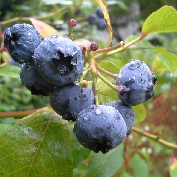 Northern high bush blueberry (Vaccinium corymbosum)