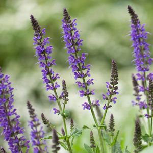Chia (Salvia hispanica L.)