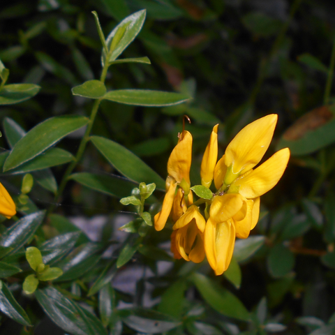 Dyer's broom (Genista tinctoria L ) – Hands on Herbs Organics
