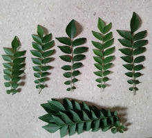 Fresh Curry Leaves 10-12g  Pack) / FRESH NATURAL LEAVES
