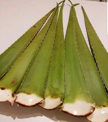 Aloe vera Large Leaves . From  Aloevera  Plant