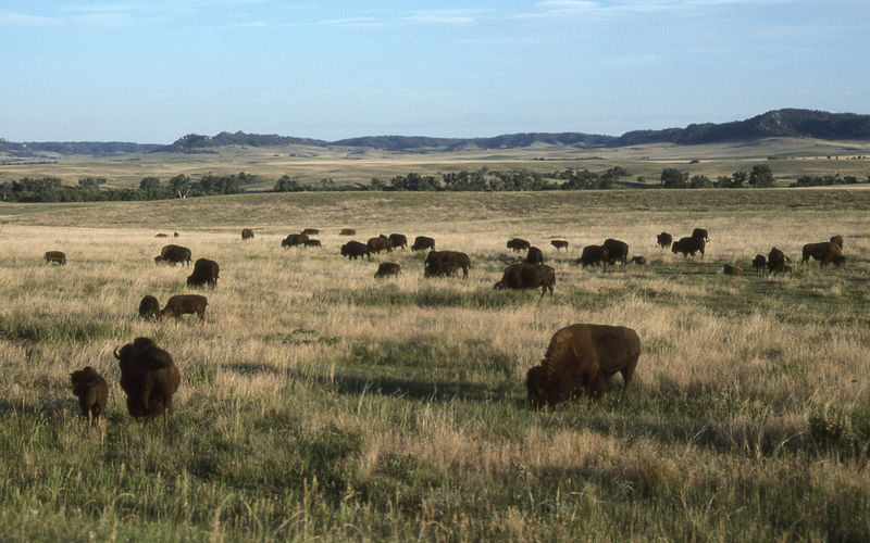 Bison on the plains