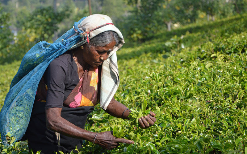 Sri Lankan Tea Farmers