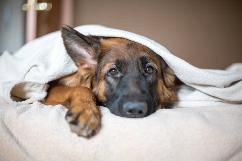 pain warning signs in dogs