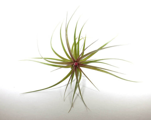 Aeranthos Stricta Airplant