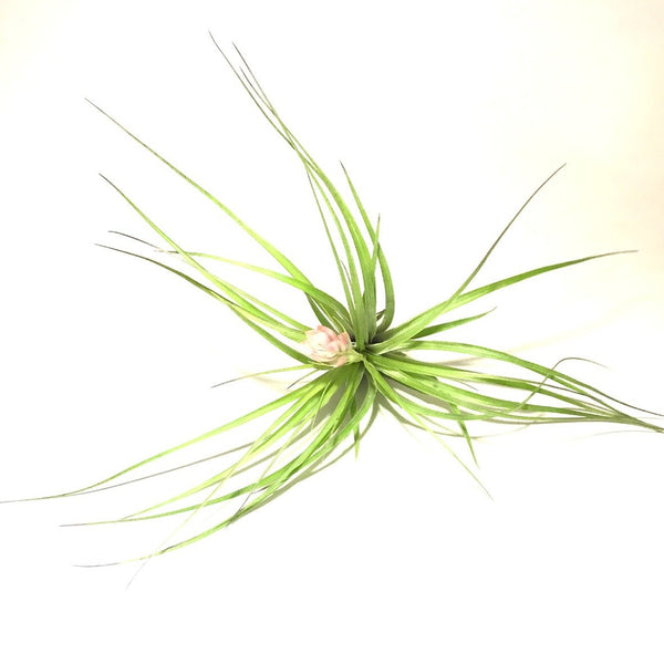 Stricta Soft Leaf Airplant