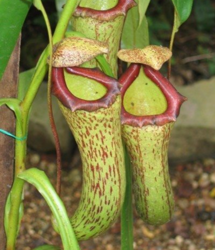 Assorted Pitcher Plants