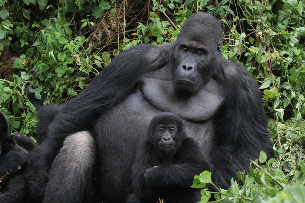Wild Beautiful Free partners with The Dian Fossey Gorilla Fund!