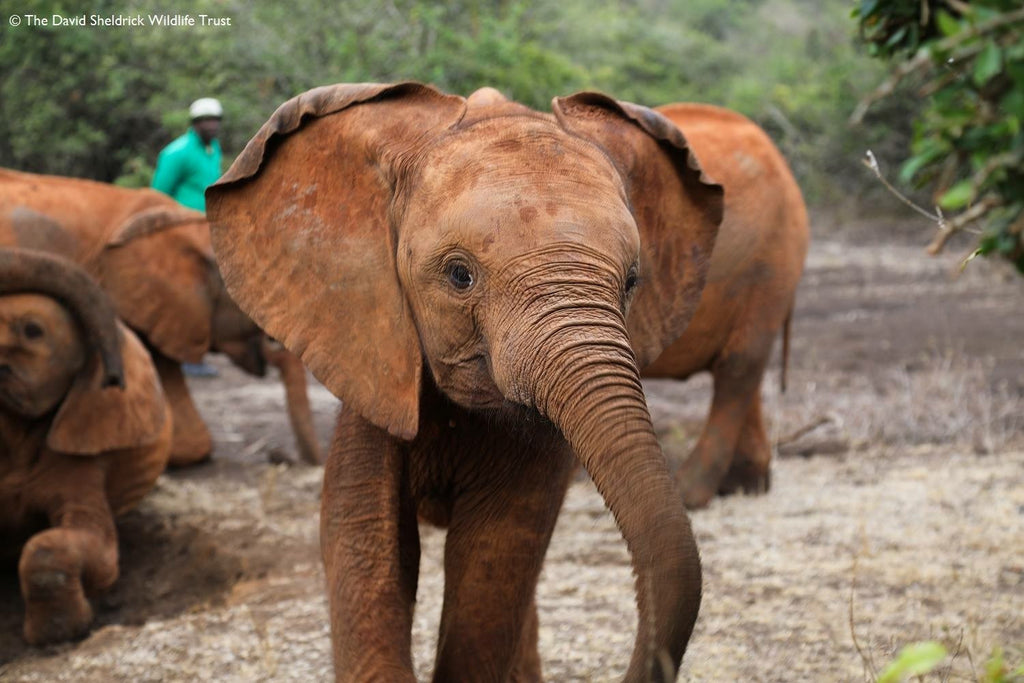 Wild Beautiful Free Partners with the David Sheldrick Wildlife Trust!