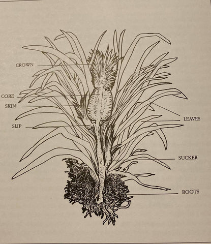 the parts of a pineapple plant