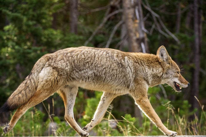 Coyote Warning Issued For Suburban Pet Owners