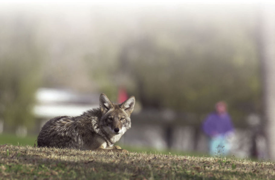 Coyote euthanized after biting Tucson woman
