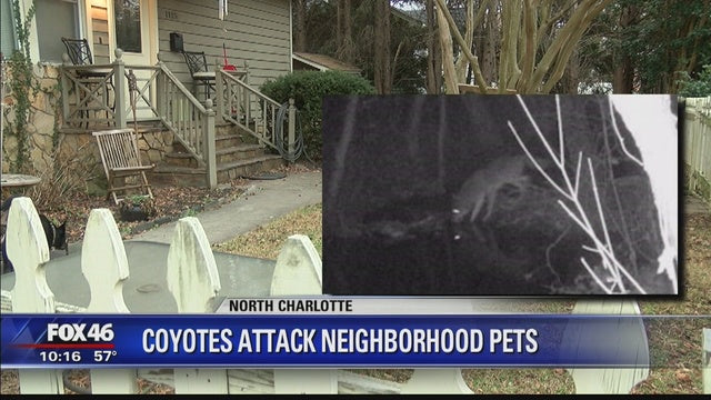 Coyotes killing pets reported over the weekend in Charlotte