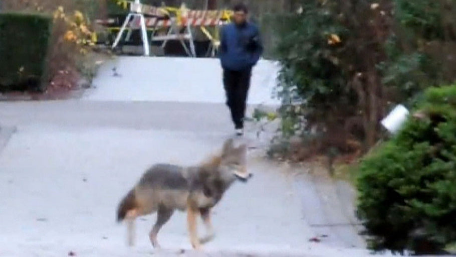 Police Search Park After Coyote (Or Dog) Bites Jogger In The Face