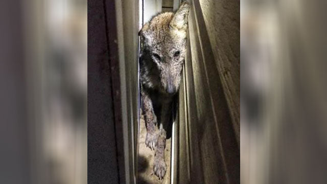 Sickly coyote put down after attacking Tennessee family's dog