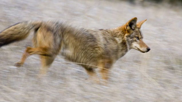 How To Keep Your Pets Safe From Coyote