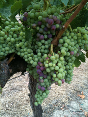 Our Merlot grapes in veraison