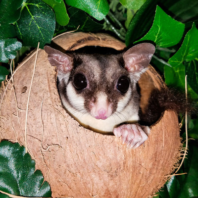 Black Face Black Beauty Sugar Gliders Photo