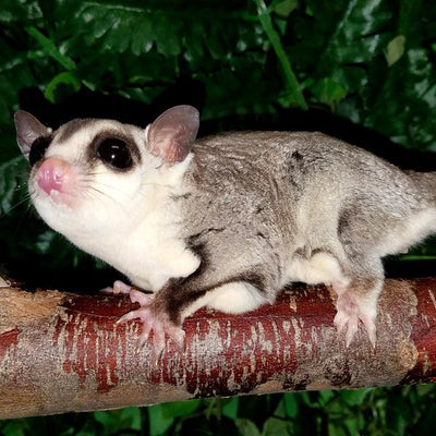 White Face Blonde Sugar Gliders Photo