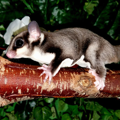Black Beauty Sugar Gliders Photo