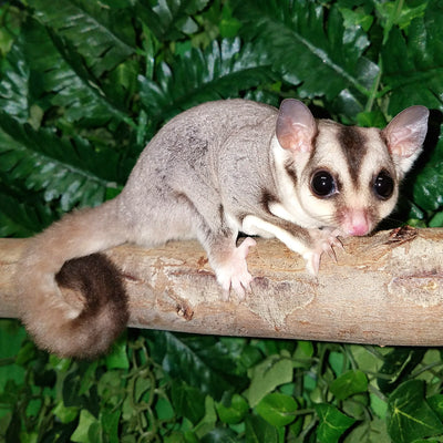 Caramel Sugar Gliders Photo