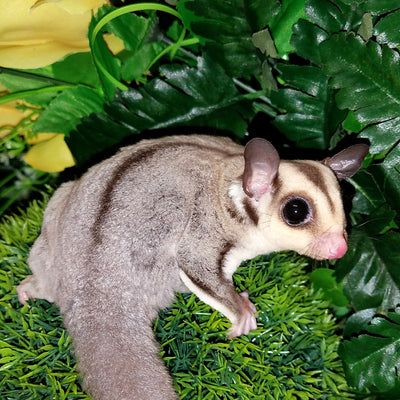 Classic Sugar Gliders Photo
