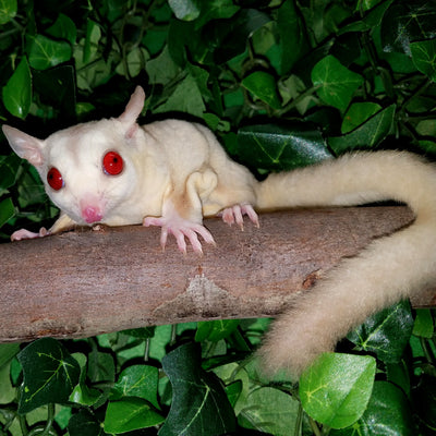 Cremeino Sugar Gliders Photo
