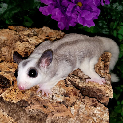 Mosaic Sugar Gliders Photo