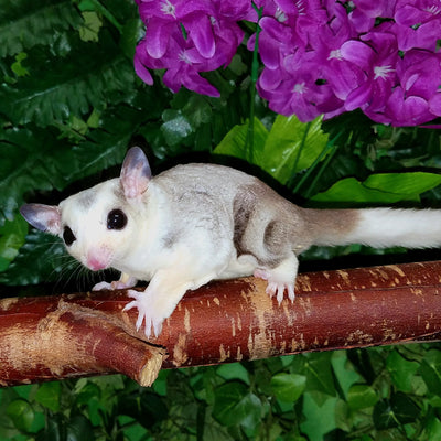 Piebald Sugar Gliders Photo