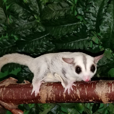 Platinum Sugar Gliders Photo