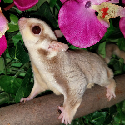Red Sugar Gliders Photo