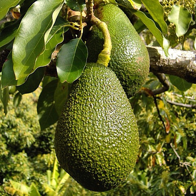 Avocados on the farm too