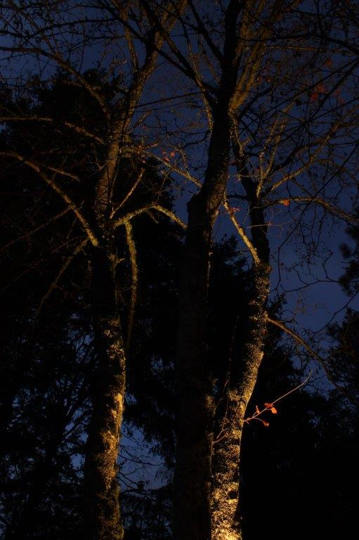 Up-lighting of maple tree with spot light