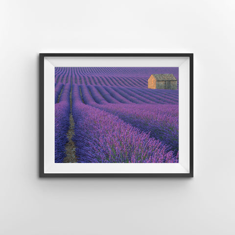 Lost in a purple field