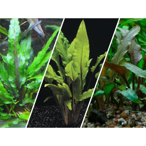 Assorted Cryptocoryne