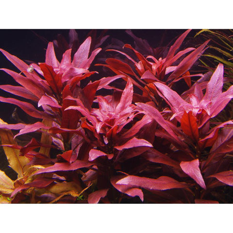 Red Ludwigia
