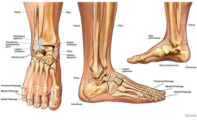 Ankle Anatomy & Causes of Ankle Pain