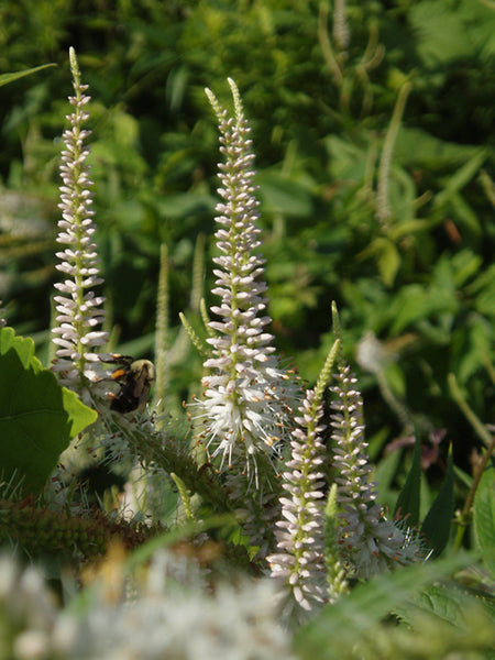 Culvers Root (Veronicastrum Virginicum) Seed Packet