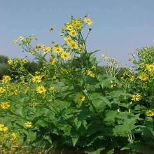 Cup Plant (Silphium perfoliatum) Seed Packet