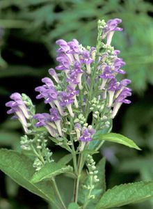 Downy Skulcap (Scutellaria Incana)
