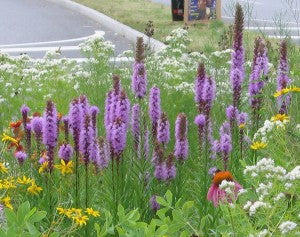 Marsh Blazing Star (Liatris Spicata)
