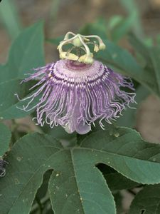 Passion Flower (Passiflora Incarnata) Seed Packet
