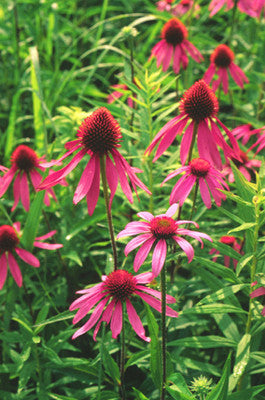 Purple Coneflower (Echinacea purpurea)