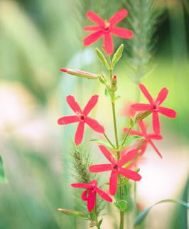 Royal Catchfly (Silene regia)