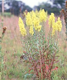 Showy Goldenrod (Solidago speciosa)