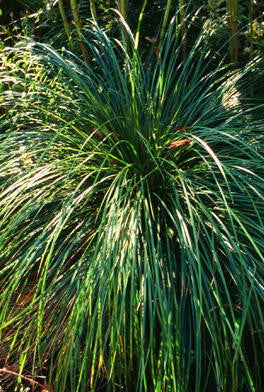 Tussock Sedge (Carex Stricta)