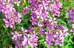 Wild Sweet William (Phlox divaricata)