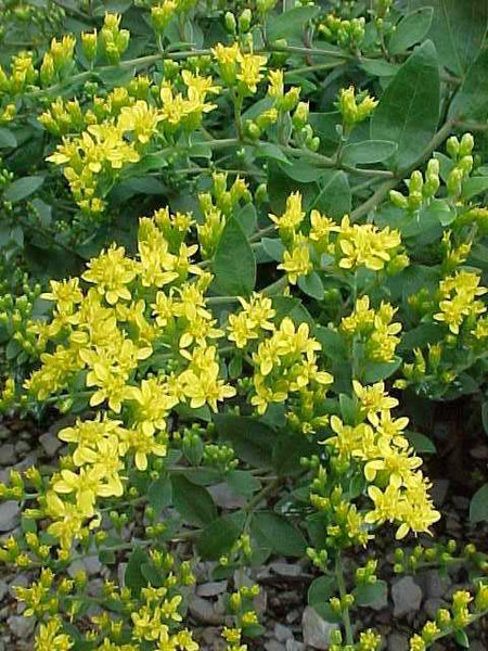 Goldenrod Dried Herb