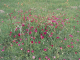 Fringe Poppy Mallow (Callirhoe digitata)