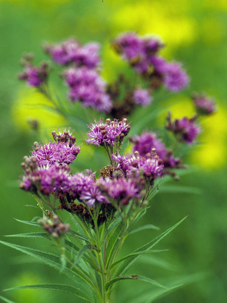 Ironweed (Vernonia Fasciculata) Seed Packet